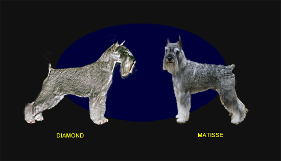 male and female standard schnauzer