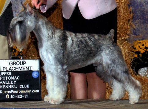 champion male standard schnauzer